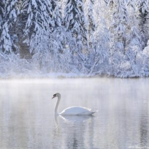 The Simple Swan